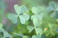 "clover, flowers, foliage, green, heart, ""three leaf clover"""
