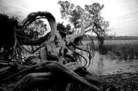 "B&W, Georgia, ""Jones Marsh"", Marsh, Saltwater, Savannah, ""black and white"", ""christine lewis photography"", ""fine art"", gnarled, monochrome, old, roots, tree"
