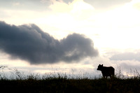 cattle, clouds, country, cow, field, rural, silhouette, sky