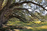 Louisiana, NOLA, New, Orleans, alley, gnarly, live, oak, oaks, plantation, roots