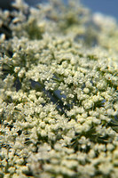 "dainty, intricate, lace, ""queen anne's lace"", white, wildflower"