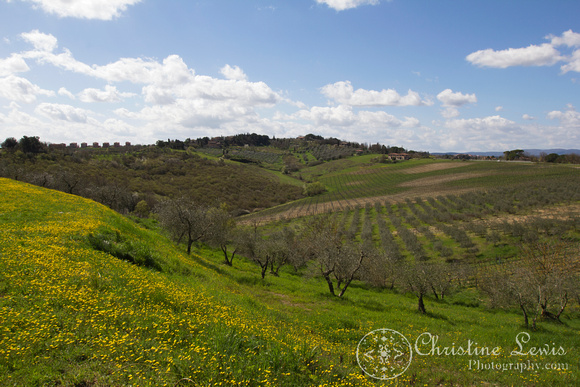 "tuscany, olive grove, trees, Italy, siena, travel ""christine lewis photography"", yellow flowers, vineyards, hills"