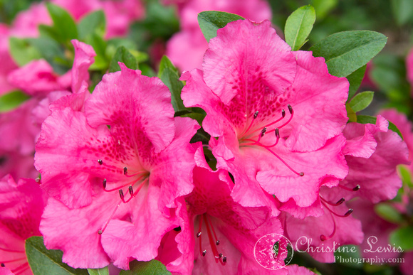 "foliage, flowers, green, pink, ""christine lewis photography"", home decor, fine art print, azalea"