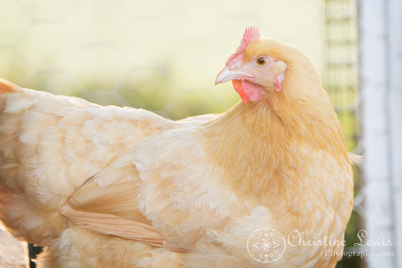 "chickens, hen house, coop, farm, countryside, art print, ""christine lewis photography"", buff orpington"