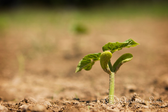 """green beans, vegetable, garden, dirt, natural, organic, farm, countryside, first growth, """"christine lewis photography"""", sprout"""