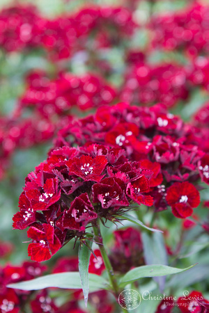 "foliage, flowers, red, green, dianthus, ""christine lewis photography"", home decor, fine art print"