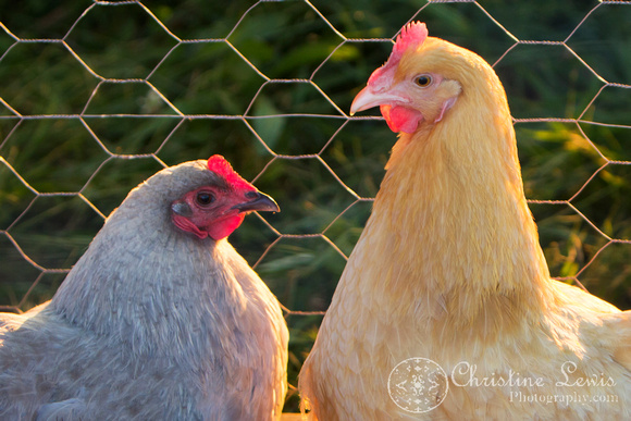"chickens, hen house, coop, farm, countryside, art print, ""christine lewis photography"", lavendar orpington, buff"