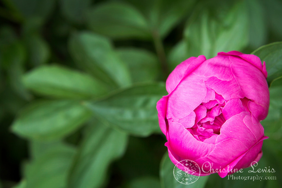 "foliage, flowers, peony, green, pink, ""christine lewis photography"", home decor, fine art print"
