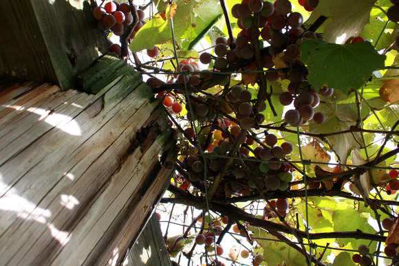 """christine lewis photography"", countryside, grapes, growth, natural, organic, red, rural, vine"