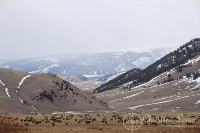 elk, plains, wyoming, travel, photographs, pictures, art print, sagebrush, refuge, jackson hole, mountains