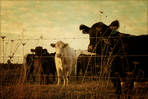 cattle, country, countryside, cows, farm, rural, rustic, vintage