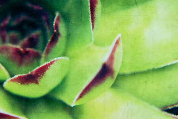 "bright, chicks, foliage, green, hens, ""hens and chickens"", macro, purple, succulent, texture"