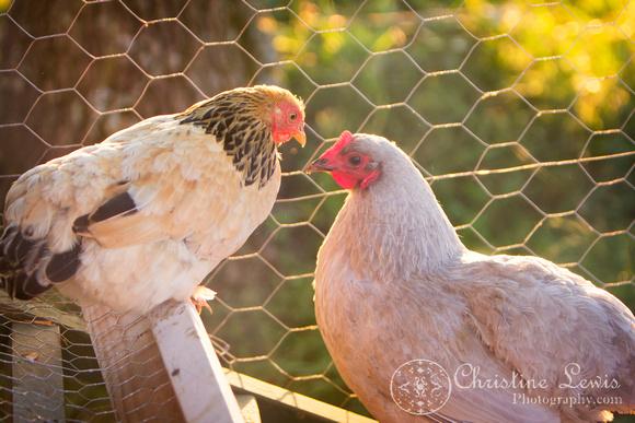 "chickens, hen house, coop, farm, countryside, art print, ""christine lewis photography"", lavendar orpington, brahma bantam"